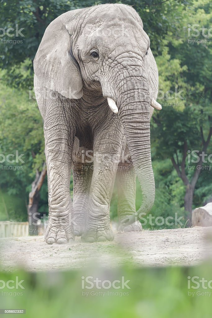 African elephant is vulnerable species standing on dusty land stock photo