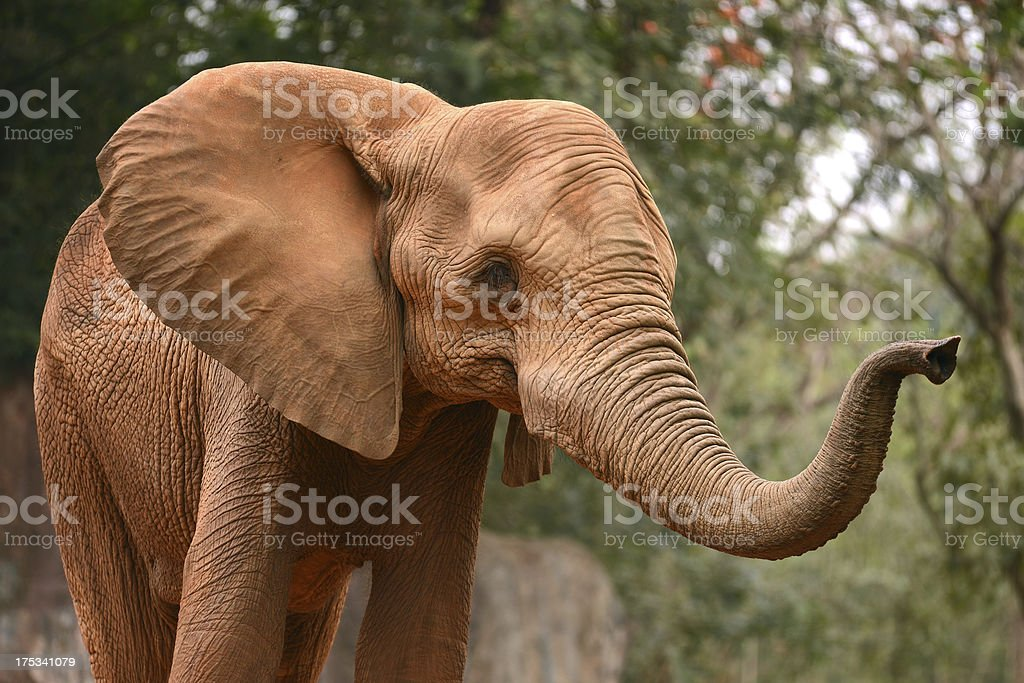African elephant lift his nose stock photo