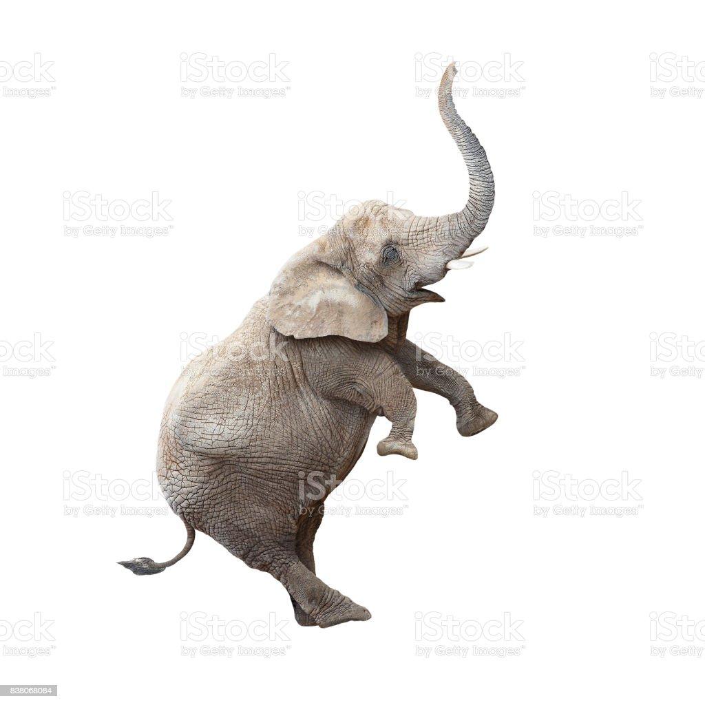 African elephant Loxodonta africana balancing. stock photo