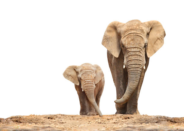 African elephant - Loxodonta africana family. African elephant (Loxodonta africana) family on a white background. animal family stock pictures, royalty-free photos & images