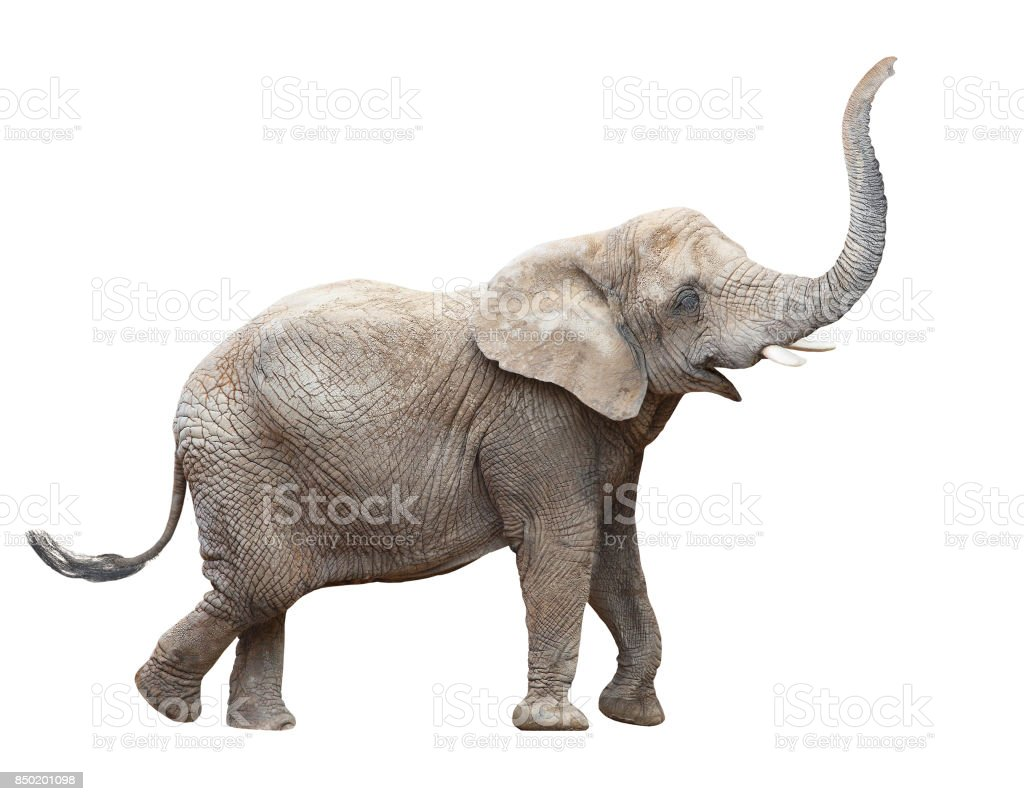 African elephant - Loxodonta africana female. stock photo