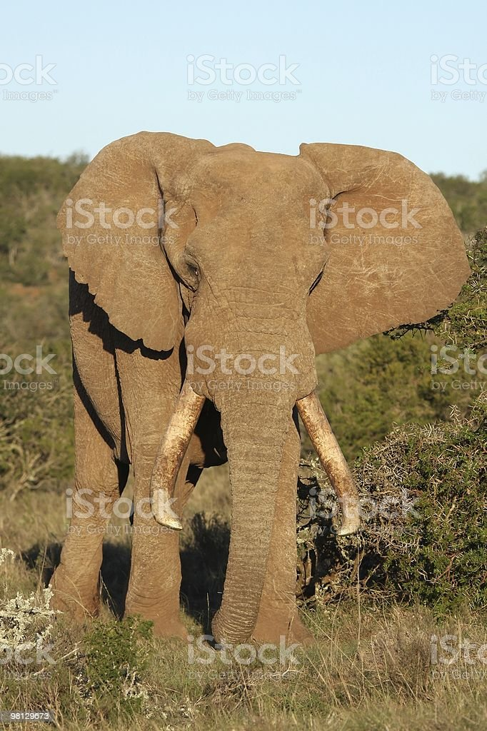 Elefante africano maschio foto stock royalty-free