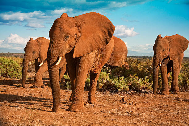 African elephant matriarchy against a blue sky An African elephant herd advances across the plains of Samburu National Park in Kenya african elephant stock pictures, royalty-free photos & images