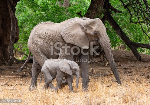 An African Elephant mother and calf in Southern African woodland