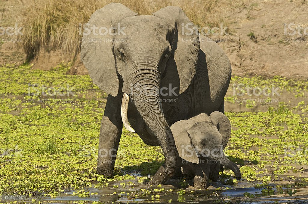 African elephant mother protecting young royalty-free stock photo