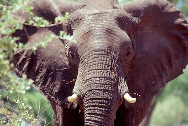 African Elefant – Foto