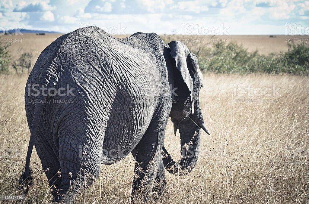 African Elephant royalty-free stock photo