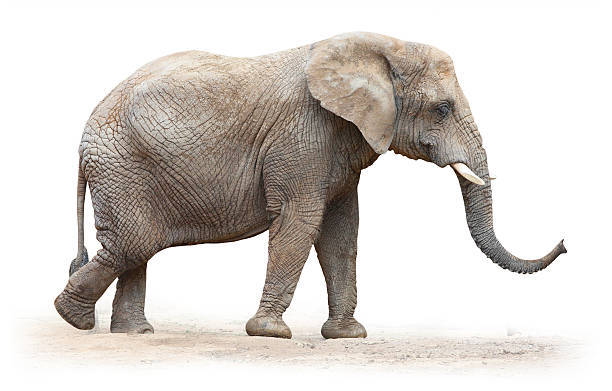 African elephant (Loxodonta africana). African elephant (Loxodonta africana) female on white background. animal trunk stock pictures, royalty-free photos & images