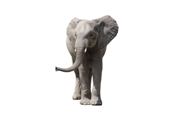African elephant - Photo