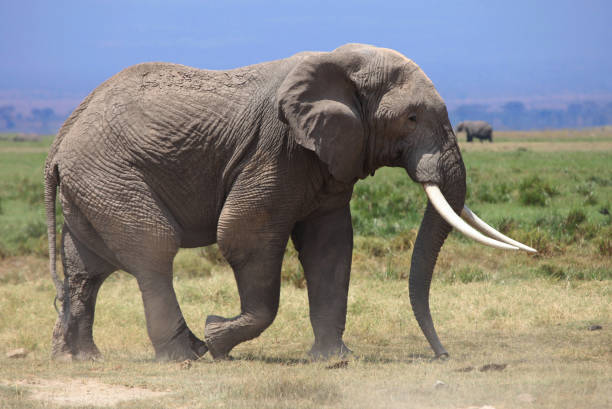 African elephant African elephant tusk stock pictures, royalty-free photos & images