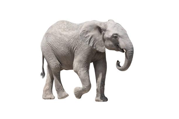 Éléphant d'Afrique - Photo