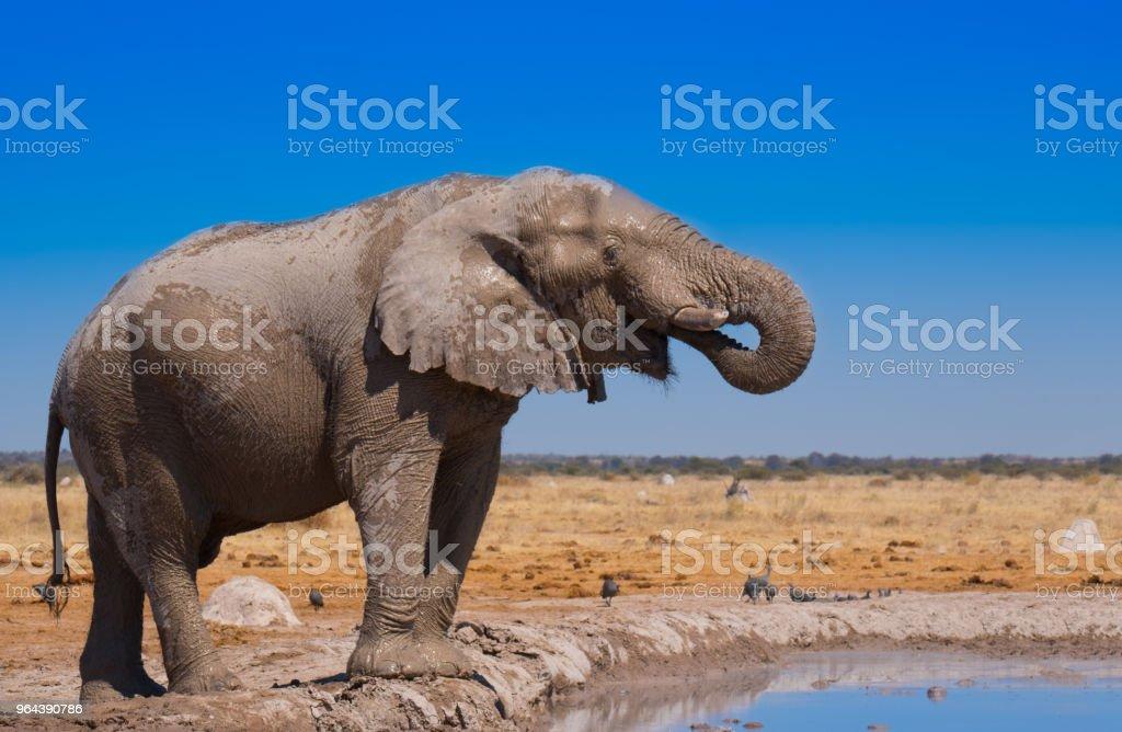 Afrikaanse olifant - Royalty-free Afrika Stockfoto