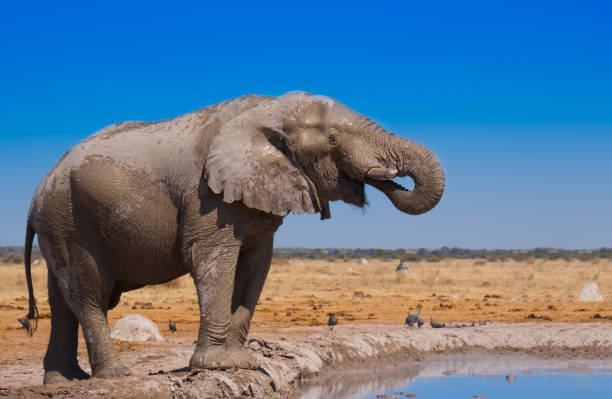 African Elephant African Elephant african elephant stock pictures, royalty-free photos & images