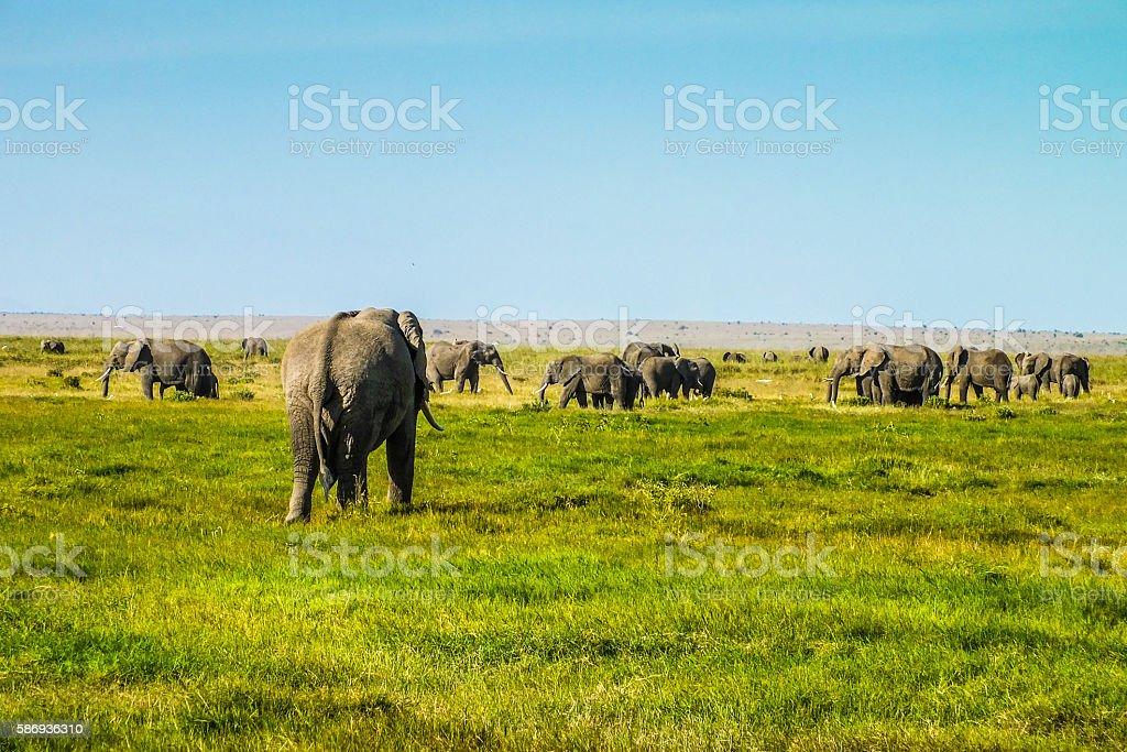 African Elephant returns return to his flock stock photo