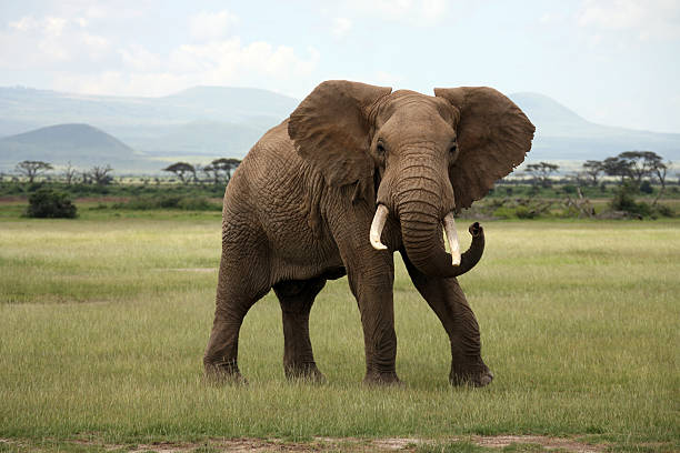 what is an African elephant