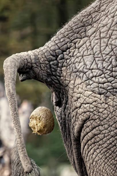 Afrikanischer Elefanten-Shitting – Foto