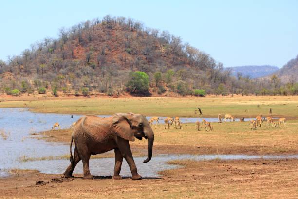 Afrikanischer Elefant am Ufer des Kariba-Sees im Matusadona Nationalpark, Simbabwe – Foto