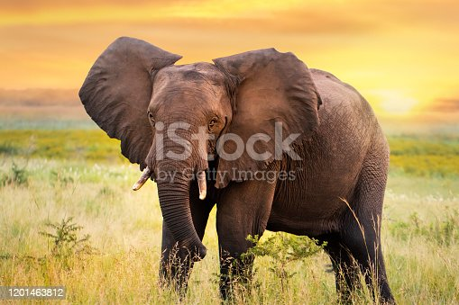Close up full length portrait of African elephant standing in savanna grassland at sunset.