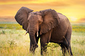 istock African elephant standing in grassland at sunset. 1201463812