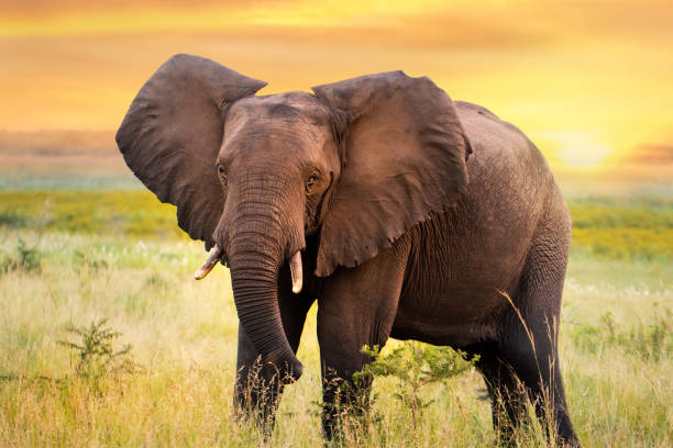 African elephant standing in grassland at sunset. stock photo