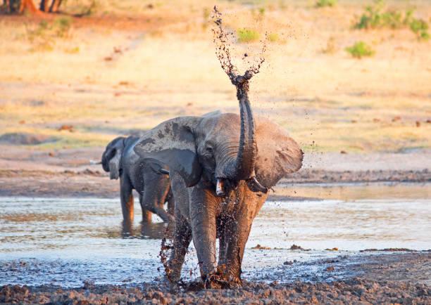 Afrikanischer Elefant stehend spritzende schlammiges Wasser aus den Stamm in die Luft, mit sichtbaren Wassertropfen – Foto