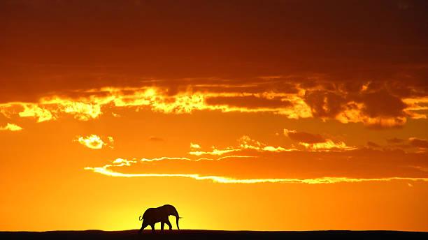 afrikanischer elefant sonnenuntergang - elefanten umriss stock-fotos und bilder
