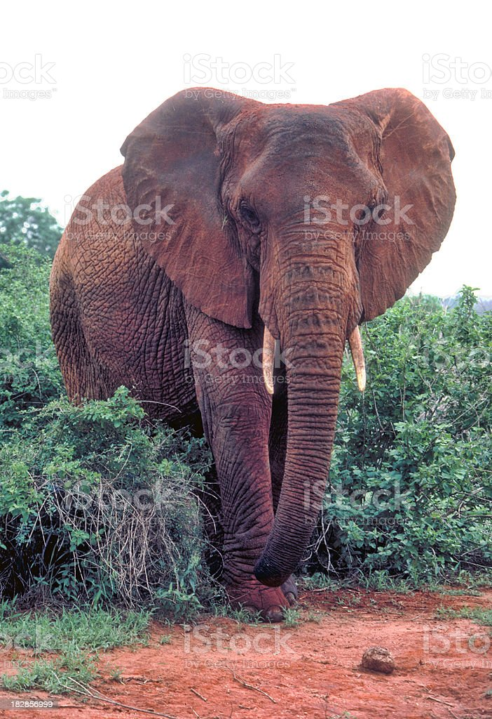 Elephant called Eleanor portrait in Tsavo East stock photo