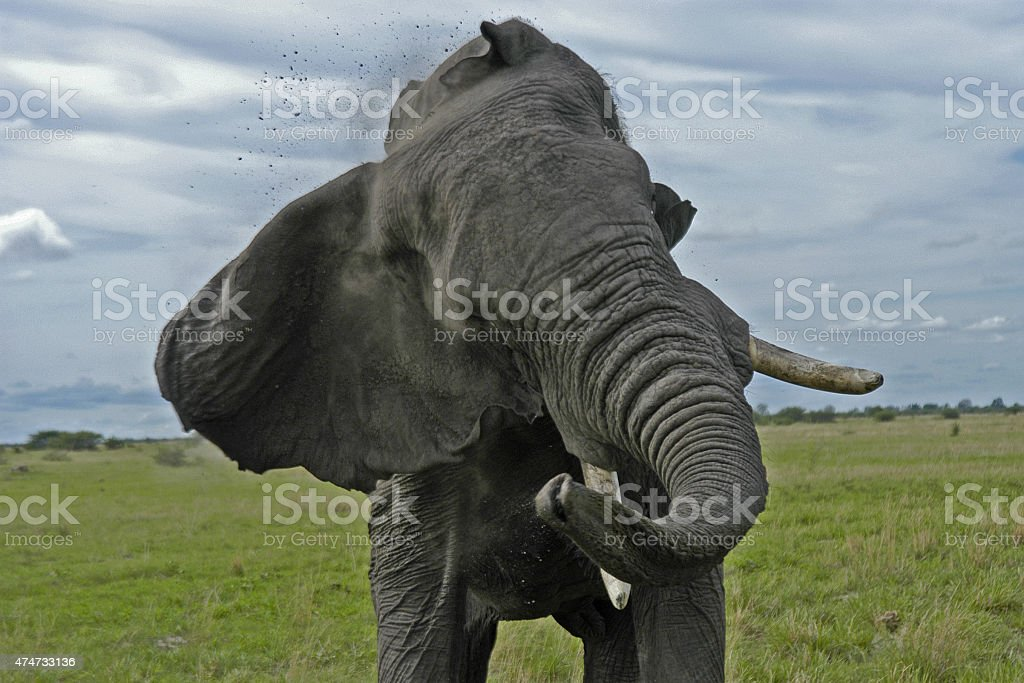 African elephant threat display stock photo