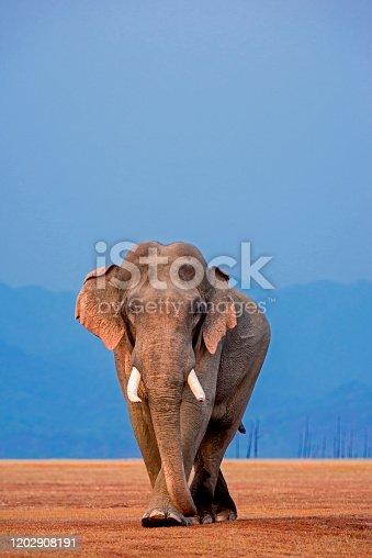 African Elephant, Tusker, Jim Corbett National Park, Uttarakhand, India