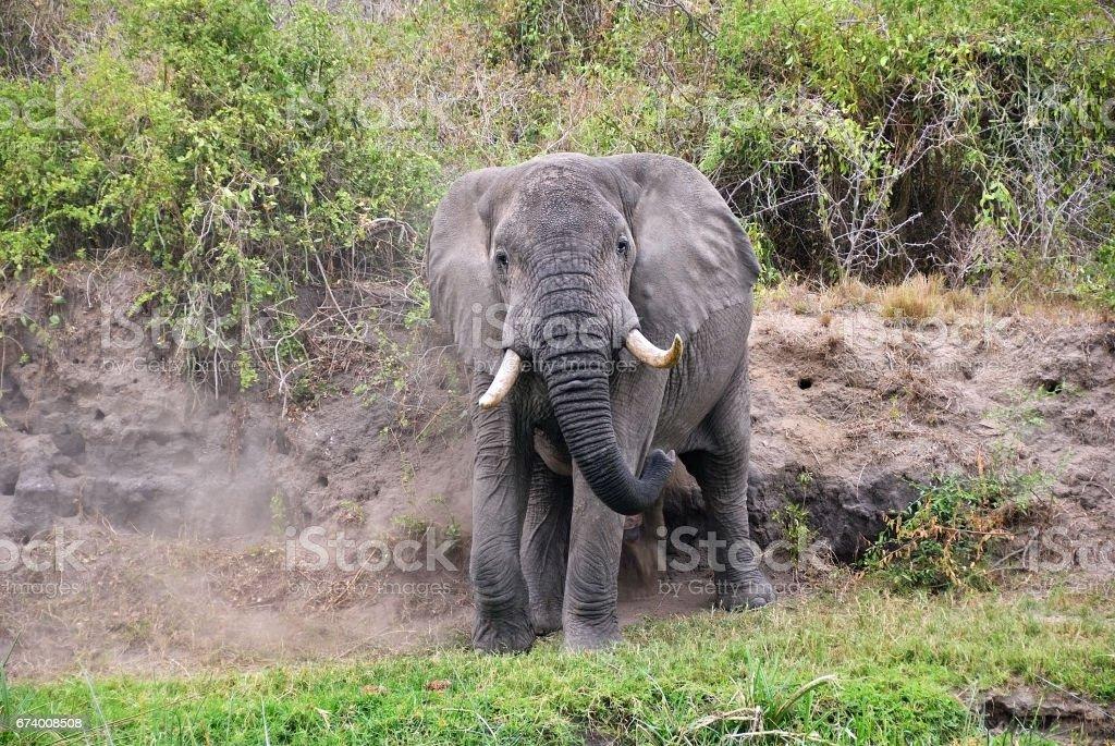 African elephant,  Uganda, Africa royalty-free stock photo