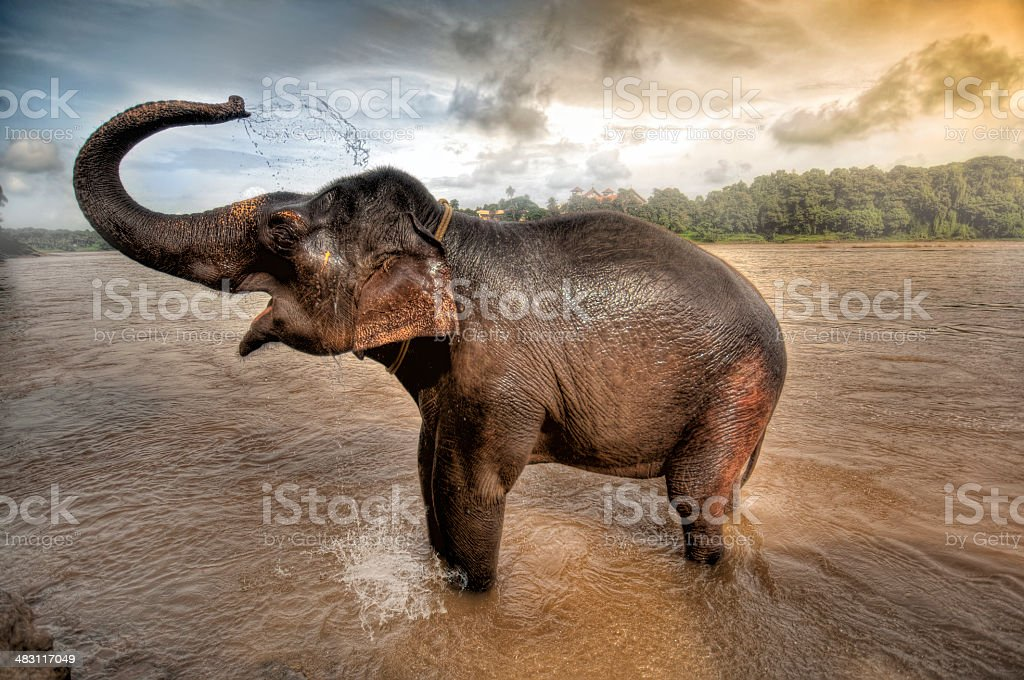 African Elephant wading with his trunk raised stock photo