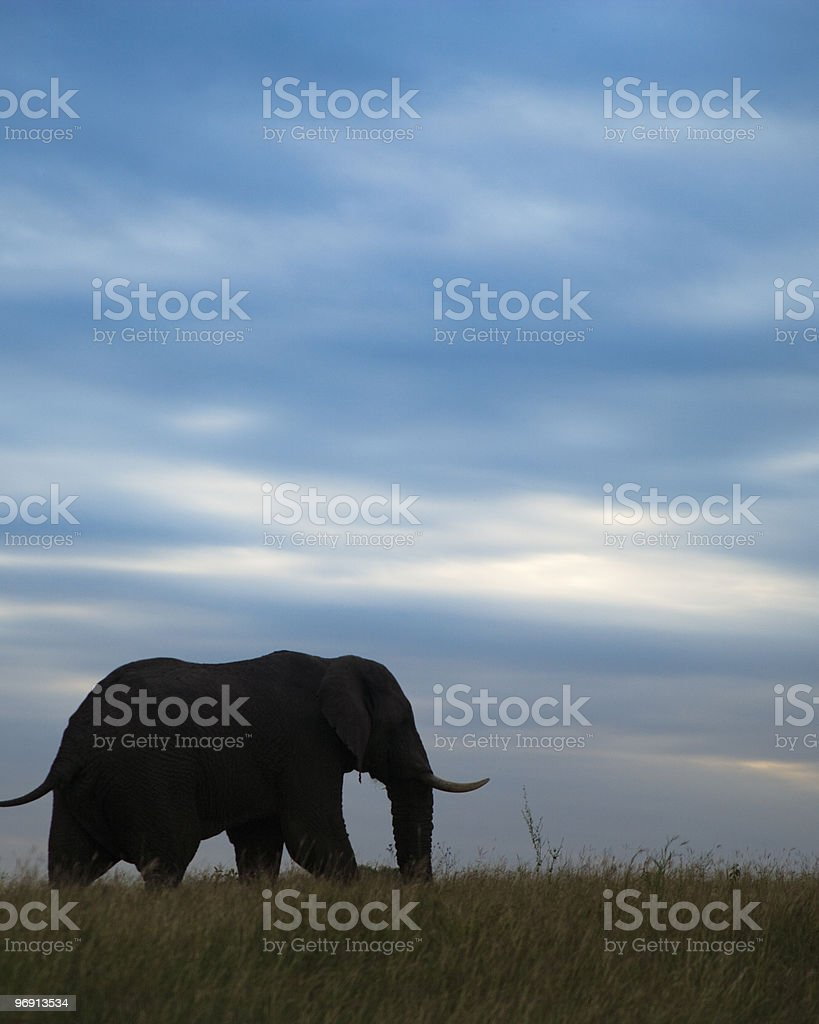 African elephant (Loxodonta africana), walking along a ridge top royalty-free stock photo