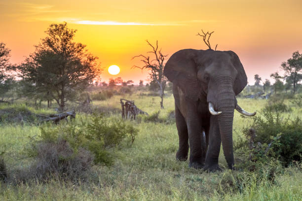 African Elephant walking at sunrise stock photo