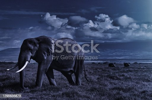 African elephant walking lonely at night on the masai mara in kenya