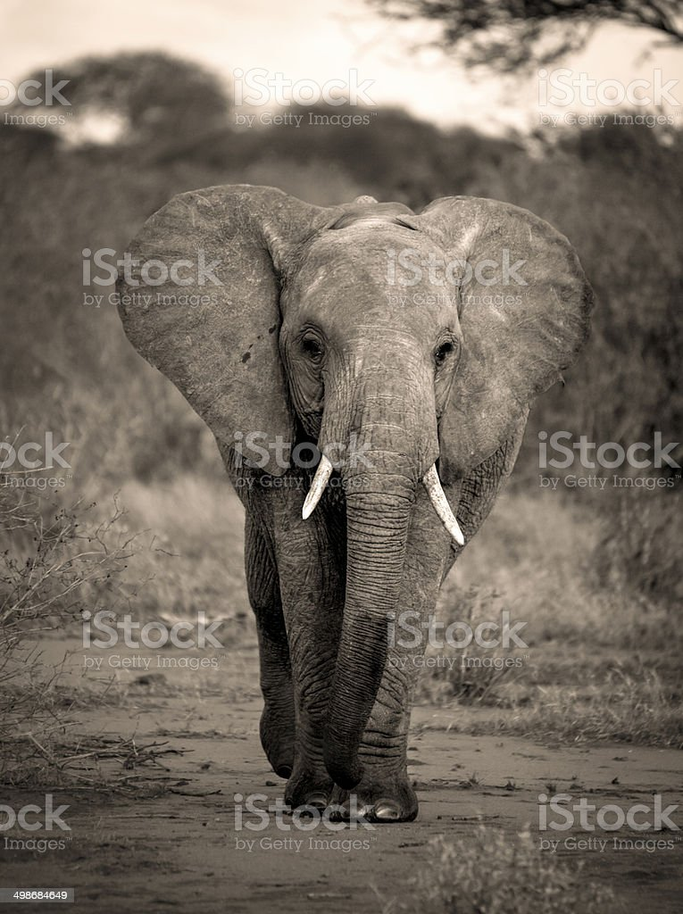 African elephant walking towards viewer in sepia stock photo