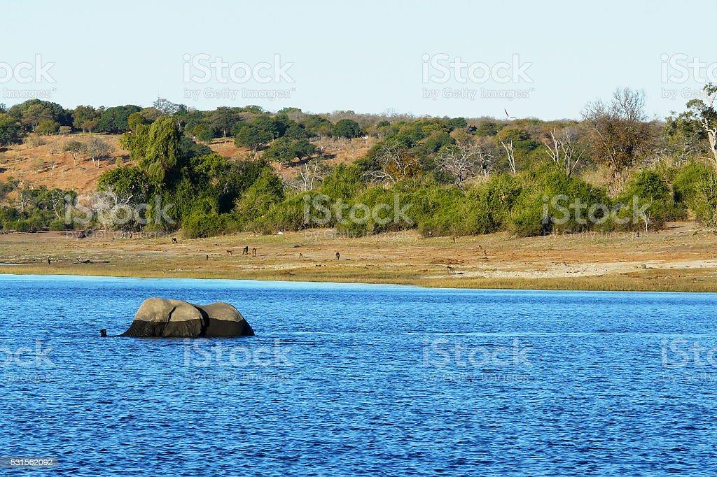 African elephant walks through the waters of Chobe river, Botswana. stock photo