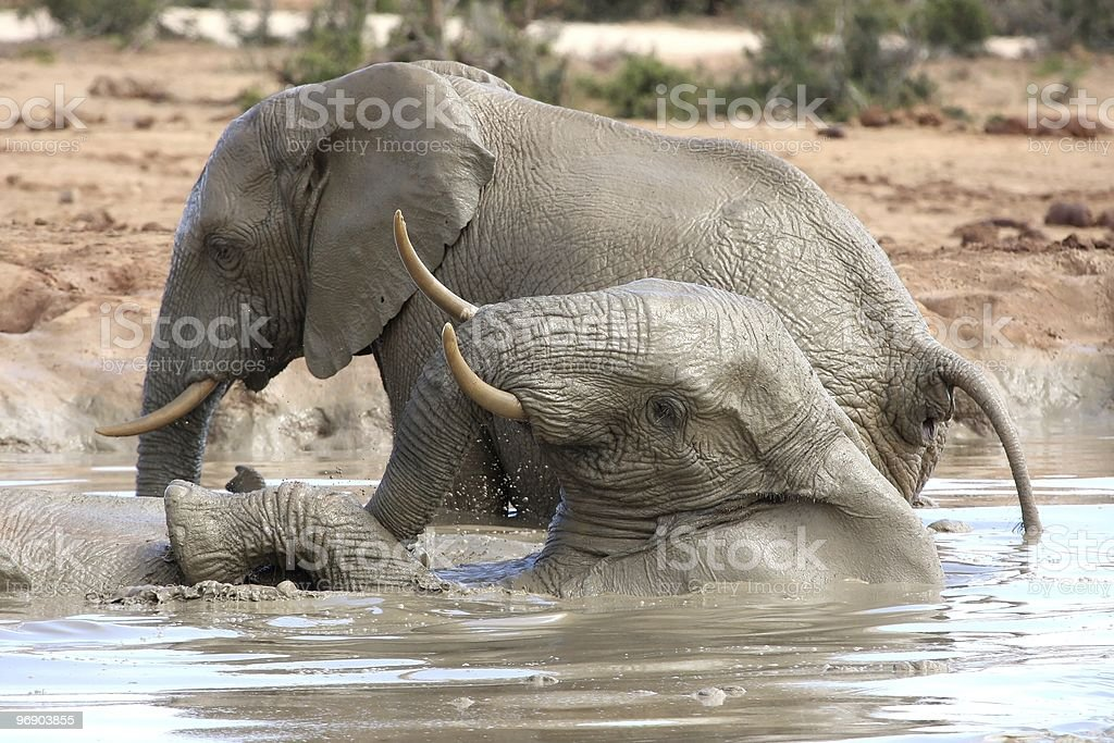 African Elephant Water Fun royalty-free stock photo