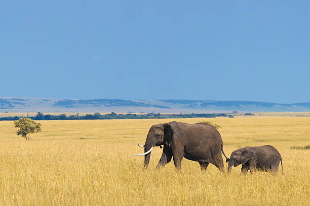 African elephant with calf African elephant with calf in the savannah. elephant calf stock pictures, royalty-free photos & images