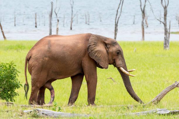 African Elephant with penis extended at Lake Kariba Zimbabwe stock photo