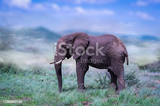 african elephant with protective mud in their natural habitat with fog