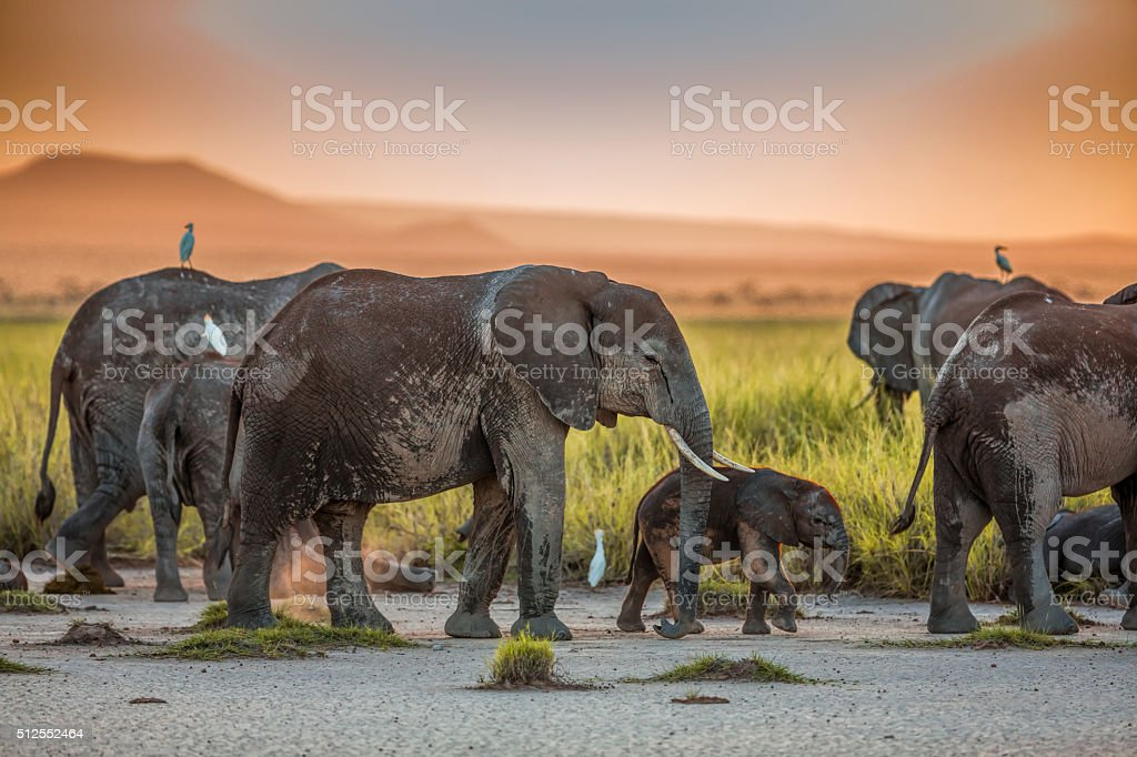 African Elephants at Sunset stock photo