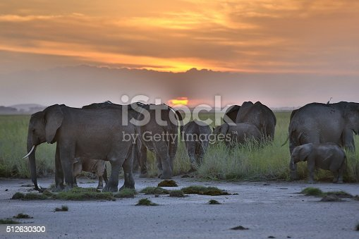 African Elephants Elephant Calfs at Sunset at Amboseli in Kenya. Elephant calfs are really very tired and calfs are resting but all family on keep watching for calfs.