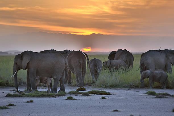 afrikanische elefanten im sonnenuntergang - elefanten umriss stock-fotos und bilder