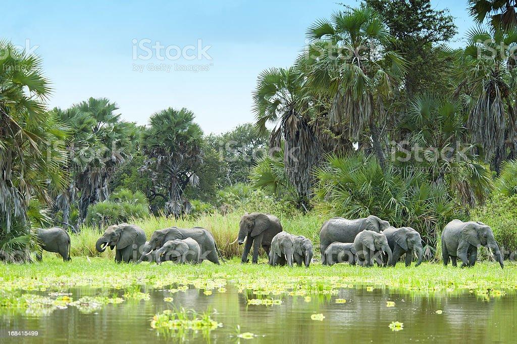 African Elephants drinking water at Lake Manze, Selous, Tanzania stock photo
