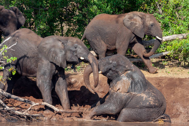 African Elephants enjoy a cooling mud bath on the banks of the Chobe River - Botswana stock photo