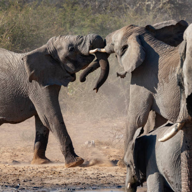 African Elephants (Loxodonta africana) fighting in Etosha National Park - Namibia stock photo
