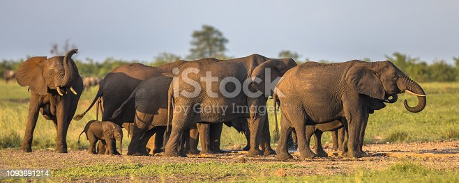 African Elephants (Loxodonta africana) matriarchal female family group in afternoon sun on savanna in Kruger national park South Africa