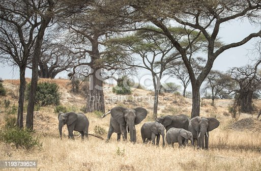 african elephant in a nature reserve in Tanzania