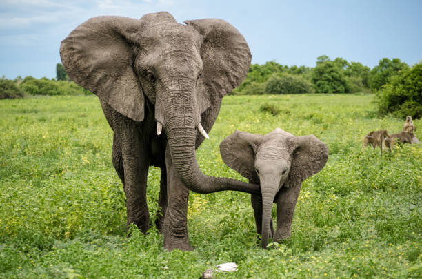 African Elephants in Chobe National Park, Botswana Elefanti Africani nel parco nazionale di Chobe, Botswana animal family stock pictures, royalty-free photos & images
