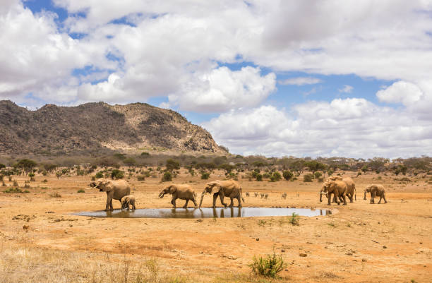 African elephants in Kenya stock photo